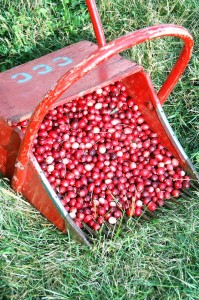 Cranberries by Marshall Katzman
