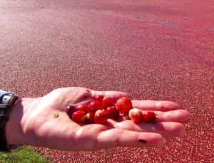 Cranberries in hand by Marshall Katzman