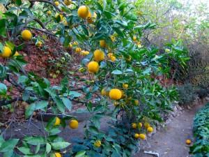 Back Yard Orange Grove by S.M. Katzman