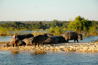 Hippos on the Zambezi