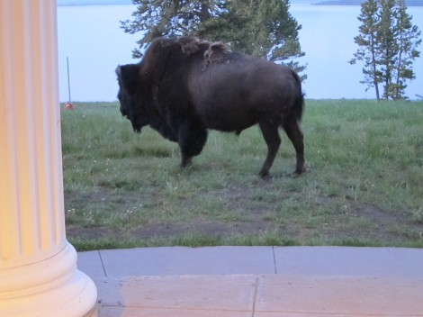 Bison on the Grounds of Lake Yellowstone Hotel by Susan Manlin Katzman