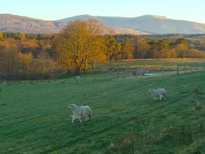 Sheep at Inverlochy Castle Hotel