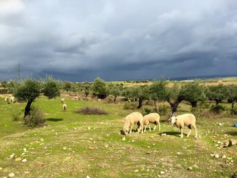 Extremadura Sheep in Field by Susan Manlin Katzman