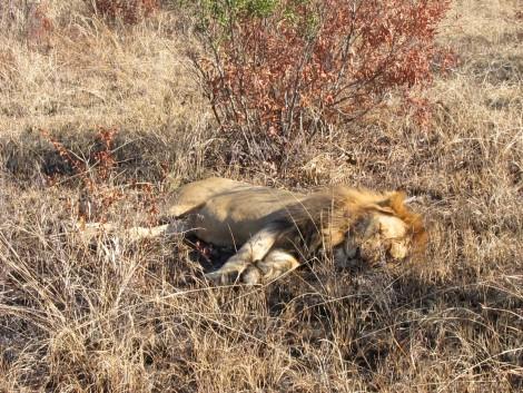 Sleeping Lion by Susan Manlin Katzman