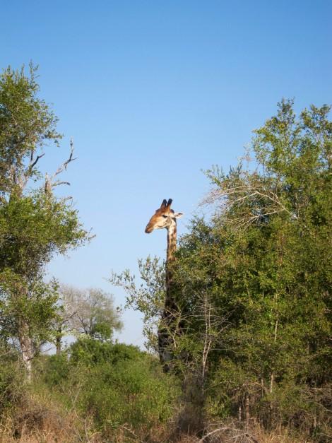 Giraffes Graze at Sabi Sabi by Susan Manlin Katzman