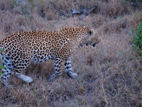 Leopard at Sabi Sabi by Susan Manlin Katzman