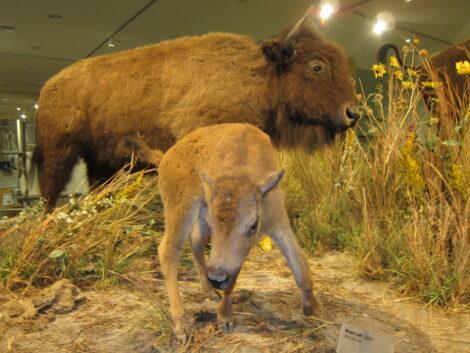 Buffalo scene in the Buffalo Bill Center of the West